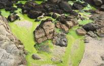 A view of green liquid flowing from a stormwater drain onto the beach in the Bantry Bay area. Picture: Supplied.