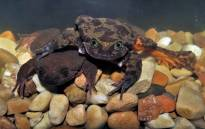 Romeo, once the last-known Sehuencas water frog, and his new mate Juliet. Picture: Museo de Historia Natural Alcide d'Orbigny