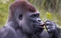 Kumbuka is seen enjoying his snack at London Zoo. Picture: @zsllondonzoo/Facebook.com.