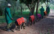 Orphaned elephants go for a walk with their carers at Kenya's Sheldrick Wildlife Trust. Picture: www.sheldrickwildlifetrust.org