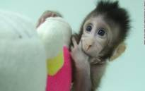 A screengrab of one of the cloned monkeys. Picture: CNN