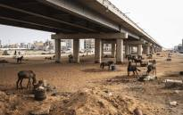 Horses used to pull carts are pictured under a new bridge in Dakar on May 5, 2021. Horses are ubiquitous in the booming West African city of 3.5 million people, where carts weave through traffic-clogged streets and squeeze down narrow sandy alleyways. Drivers carry goods and people at a cheap rate, and increasingly, also collect garbage in neighbourhoods unserved by rubbish trucks. Picture: John Wessels / AFP