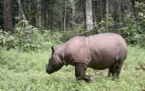 A Sumatran rhino. Picture: AFP
