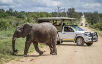 A young African bush elephant crosses the road in front of safari car in Kruger National Park. Image: 123rf.com