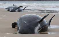This handout photo taken and received from Brodie Weeding from The Advocate on 22 September 2020 shows a pod of whales stranded on a beach in Macquarie Harbour on the rugged west coast of Tasmania. Picture: AFP