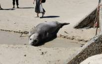 Buffel the seal. Picture: Supplied.