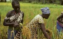 Women harvesting rice in Senegal. Picture: United Nations Photo.