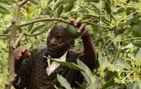 73-year-old Kenyan avocado farmer Simon Kimani tending to his crop in Kandara, central Kenya. Picture: AFP.