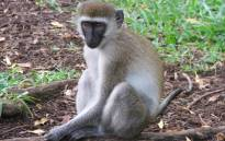 FILE: The rescue operation took place in the early hours of the morning after the monkeys were sedated. Picture: freeimages.com