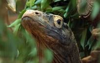 Ganas the komodo dragon at the London Zoo. Picture: ZSL London Zoo Facebook page