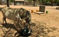 Cattle drink from a basin near the village of Merine in Dakar, Senegal. Picture: AFP.