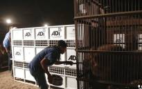 Lion loading is underway in Peru with each animal gently coaxed into their custom travel crate. Picture: Twitter - Animal Defenders International
