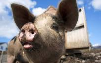 A Pig. Picture:FreeImages