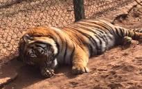 A tiger lies in its enclosure at the Jugomaro Predator Park. Picture: Rosa Fernandes/Facebook.