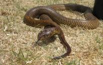 A Cape cobra. Picture: Wikimedia Commons/John Richfield.