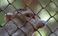 Rhesus monkey. Picture: Pixabay