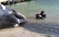 A humpback whale carcass was found near Sunny Cove on 26 June 2019. Picture: Supplied.