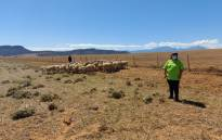 Alfreda Mars, a sheep and grain farmer in Moorreesburg, wants more young women to enter the agriculture sector. Picture: Graig-Lee Smith/Eyewitness News