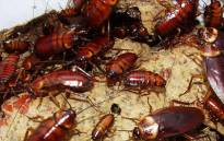 Scientists studied the behavior of the American cockroach when exposed to light. Picture: freeimages.com.