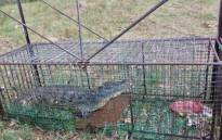 One of the young Nile crocodiles recaptured in a bait trap along the Breede River: CapeNature/Facebook