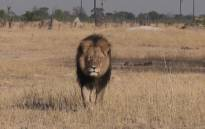 Cecil the lion was shot and killed by a dentist. Picture: CNN