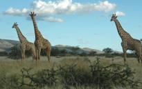 Giraffes. Picture: Tim Neary.