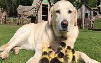 A screengrab of 10-year-old Labrador, Fred, who has 'adopted' nine ducklings. Picture: CNN