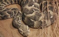 The puff adder is responsible for most attacks in the Western Cape. Picture: Wikimedia Commons/4028mdk09.