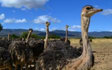 FILE: Young ostriches on an Oudtshoorn farm. Picture: Aletta Gardner/EWN.