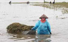 This picture taken on 12 October 2017 shows a farmer pulling a boat loaded with harvested paddy on a flooded rice field in the northern province of Ha Nam. Picture: AFP