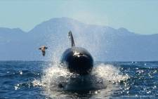 FILE: Killer whale. Picture: Dave Hurwitz/ Simon's Town Boat Company.