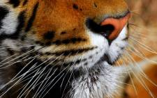 Tiger. Picture: freeimages.com