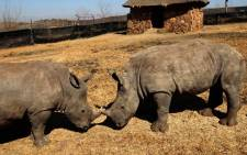 More rhino killed for their horns. Picture: EWN