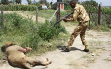 A ranger of Kenya Wildflife Serive (KWS) shoots a lion after it ran away from the Nairobi National Park in Nairobi on 30 March 2016. Picture: AFP/ STRINGER