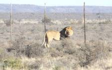 A massive search has been underway for Sylvester the lion that escaped from the Karoo National Park. Picture: SanParks.