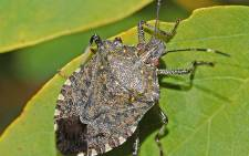 A brown marmorated stink bug. Picture: Wikimedia Commons