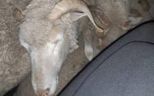 Police in East London arrested a 37-year-old man for being caught with 10 sheep suspected to have been stolen. Picture: SAPS.