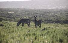 Black and white meets loads of colour as two zebra's graze amongst the wildflowers. Picture: Cindy Archillies/EWN