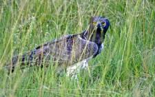 Martial Eagle. Picture: freeimages.com
