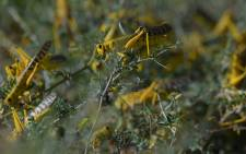 Gregarious locusts congregate on some ground vegetation at Larisoro village near Archers Post, on 21 January 2020. Picture: AFP