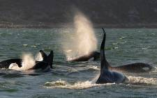 A large pod of killer whales has sparked great excitement among Cape Town ocean enthusiasts. Picture: The Simon's Town Boat Company
