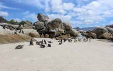 SANParks celebrated International African Penguin Awareness Day on 12 October. Picture: @SANParks/Twitter.