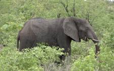 An elephant at the Kruger National Park. Picture: Louise McAuliffe/EWN