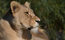 FILE: A rescued lioness which found sanctuary at the Drakenstein Lion Park near Cape Town. Picture: Aletta Gardner/EWN