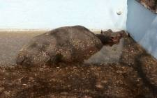 A hippo stands up in a swimming pool at a game lodge in Limpopo, after being trapped there for several days. Picture: Christa van der Walt/EWN.