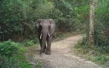 Picture of the Knysna elephant roaming the forest provided by SANParks scientist Lizette Moolman. Picture: @SANParks/Twitter