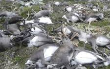 Some 323 dead wild reindeer struck by lightning are seen littering a hill side on Hardangervidda mountain plateau in central Norway. Picture: Norwegian Environment Agency/AFP.