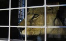 Thirty-three abused rescued lions arrived at OR Tambo airport on 30 April 2016, from where they were transported to their new home in natural enclosures at Emoya Big Cat Sanctuary in Limpopo. Picture: Louise McAuliffe/EWN.
