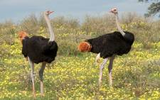 FILE: In April last year, a new threat had emerged in the already struggling South African ostrich industry, namely poachers of feathers. Picture: Gerry van der Walt/ Wild-Eye.
