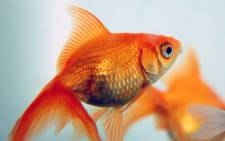 FILE. An Australian couple has spent hundreds of dollars to have a brain tumour removed from the head of their goldfish. Picture: freeimages.com